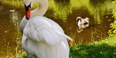 swan-bird-waters-water-162365